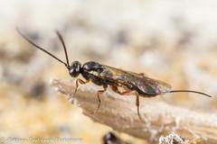 Ichneumon Wasp (Tubs McHam) Tags: dof matthewpaullewis ichneumon wasp stpeterschurch yongnuoyn24ex yn24ex canon canon6d small tubsmcham hymenoptera ichneumonidae limpsfield insect macro yongnuo nature mpe65