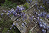 Wisteria-1498-2 (vdrobphoto) Tags: canon5d111 canon35mmf14ii wisteria flowers flower floral