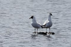 Getrennte Wege ... (kalakeli) Tags: lachmöwe chroicocephalusridibundus larusridibundus blackheadedgull gulls möwen vögel birds rieselfeldermünster rieselfelder april 2018