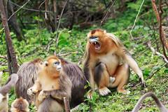 Golden Snub-nosed Monkey [Rhinopithecus roxellana] (kkchome) Tags: mammal primate golden snubnosed monkey rhinopithecus roxellana nature wildlife fauna asia china hubei shennongjia