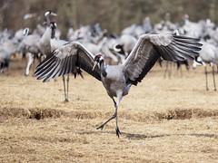 I just came here to dance (Lars Thorén) Tags: cranes crane bird birds dance dancing dancingqueen kingofthedancefloor birdbehaviour olympus40150f28pro olympusem1mkii sickmoves trana tranor