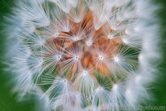 Close-up of Dandelion (vip2014) Tags: backgrounds china east asia closeup colour image dandelion seed environment flower focus on foreground fragility horizontal no people outdoors photography plant single uncultivated 蒲公英