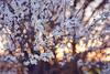 A bubbling blooming story (petrapetruta) Tags: light bubbles bokeh fujinon55f22