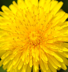 Close enough? (LuckyMeyer) Tags: gelb yellow flower fleur sun makro blume blüte löwenzahn dandelion