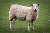 A Sheep (Jez22) Tags: animal lamb sheep ewe nature farm wool livestock rural field pasture fleeceoutdoor hogget spring springtime ovisaries mammal ruminant eventoedungulate copyright jeremysage kent england