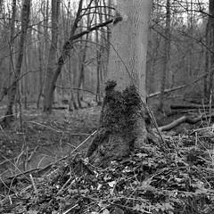 superikonta532010 (salparadise666) Tags: zeiss ikon super ikonta 53216 opton tessar 80mm fuji neopan acros vintage folding medium format analogue film camera nils volkmer 6x6 square bw black white monochrome landscape nature rural trees hannover region niedersachsen germany north german plains lowlands