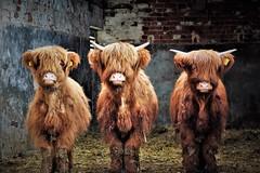 It wasn't us, honest (flowergirlaaa) Tags: highlandcattle cow livestock farm calf calves brown trio three animal bovine 7dwf