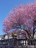 Sakura 桜 (fb81) Tags: switzerland bern cherry blossom sakura hanami pink flower tree garden park spring