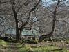 P4150258 (jameskendall2) Tags: glen feshie cairngormnationalpark cairngorms spring riverfeshie trees forest beech birch wild cattle