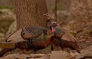 Turkeys in the yard...