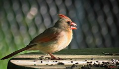 Northern Cardinal (Suzanham) Tags: cardinal bird table seeds northerncardinal female songbird nature wildlife mississippi
