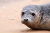 Beady - 04/18 (Rob Hayman) Tags: norfolk wells sea walking uk spring beach seal beady eyes