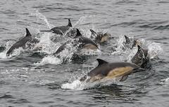 Monterey Bay - California / USA (Udo S) Tags: dolphins water pazifik pacific montereybay california kalifornien usa amerika coast küste urlaub vacation delphine