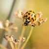 COCCINELLE ASIATIQUE  001 (Hturina) Tags: tamronmacro90 coccinelle insectes parc lyon rhônealpes france fr