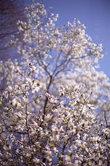 辛夷 (t_mimizuk) Tags: film nikon flower magnolia kobushi white spring akishima tokyo japan