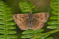 Erynnis tages (Linnaeus, 1758) (Jesús Tizón Taracido) Tags: lepidoptera hesperioidea hesperiidae pyrginae erynnistages