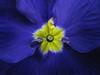 Primula (Dragan*) Tags: flower plant primula primrose reflection closeup macro indoor violet blue droplet yellow