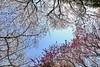 IMG_5788 (digitalbear) Tags: canon eos6d sigma 14mm f18 dg art shinjku gyoen sakura cherry blossom blooming hanami tokyo japan