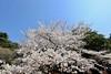 IMG_5774 (digitalbear) Tags: canon eos6d sigma 14mm f18 dg art shinjku gyoen sakura cherry blossom blooming hanami tokyo japan