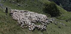 Nomadismo (lincerosso) Tags: pastore gregge nomadismo transumanza transumanti montepizzoc estate bellezza armonia improntaecologica