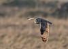 DSC0016  Short Eared Owl.. (jefflack Wildlife&Nature) Tags: shortearedowl owl owls raptors birds birdsofprey heathland heath heaths moorland marshland meadows marshes countryside avian animal animals wildlife wildbirds wetlands nature