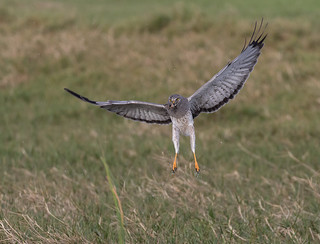 Northern Harrier With Frog
