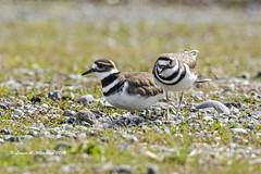032518 Killdeer Pair 2 (wildcatlou) Tags: march spring nature birds wildlife killdeer geese canadageese cacklinggeese nisquallynationalwildliferefuge
