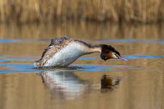 Dive Dive Dive ... (Simon Stobart) Tags: stocktonontees england unitedkingdom gb great crested grebe podiceps cristatus naturethroughthelens ngc npc
