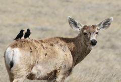 Mule Deer Buck With Starlings On His Back (fethers1) Tags: rockymountainarsenalnwr rmanwr rmanwrwildlife coloradowildlife denverbroncos muledeer muledeerbucks