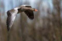 Greylag Goose  -  Graugans (CJH Natural) Tags: lenstagger greylaggoose greylag goose gans graugans bif inflight birdinflight soar wingspan nature wildlifephotography naturephotography light licht wild natur wildlife bird vogel avian birding birder birdwatching twitching twitcher rspb beauty beautiful lovely fantastic wonderful pose nikon nikond500 nikkor200500mm 200500 edvr 200500edvr