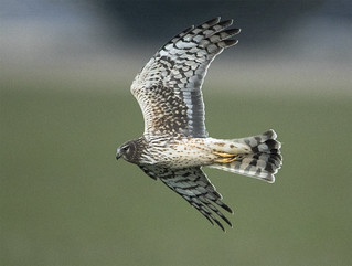 Northern Harrier swooping at an owl