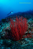 Red in the Ocean (kayak_no1) Tags: nikon d800e nauticamhousing 15mmsigmafisheye fisheye ysd1 underwater underwaterphotography wa wideangle diving scubadiving uw moalboal philippines coralreef diver