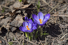 Crocus in Oslo, Norway (Ingunn Eriksen) Tags: crocus purple spring oslo norway flower nikond750 nikon