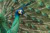 DN9A5457 (Josette Veltman) Tags: peacock pauw blauw blue green groen trots arrogant veren vogel bird