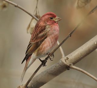 Roselin pourpré - Purple Finch