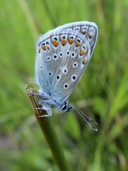 Polyommatus icarus (Rottemberg 1775) - Common Blue (Peter M Greenwood) Tags: polyommatusicarus commonblue polyommatus icarus common blue