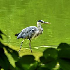 Héron cendré (Raymonde Contensous) Tags: héroncendré paris deau parcmontsouris animaux nature oiseaux