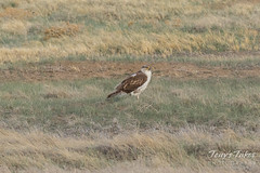Ferruginous Hawk staking out the plains