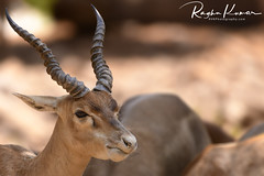 Wildlife @ Anna Zoological Park, India (rvk82) Tags: 2018 animals annazoologicalpark chennai deer india march march2018 nikkor200500mm nikon nikond850 rvk rvkphotography raghukumar raghukumarphotography southindia tamilnadu vandalur vandalurzoo wildlife rvkonlinecom rvkphotographycom peerakankaranai in