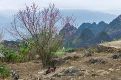 _J5K1955.0218.Lũng Phìn.Đồng Văn.Hà Giang. (hoanglongphoto) Tags: asia asian vietnam northvietnam northeastvietnam landscape scenery vietnamlandscape vietnamscene vietnamscenery spring hagianglandscape peachblossom tree mountain flanksmountain mountainouslandscape sky hdr canon canoneos1dsmarkiii canonef2470mmf28liiusm đôngbắc hàgiang đồngvăn lũngphìn phongcảnh phongcảnhhàgiang phongcảnhvùngcao mùaxuân hàgiangmùaxuân hoađào hoađàohàgiang phongcảnhcóngười núi sườnnúi bầutrời landscapewithpeople