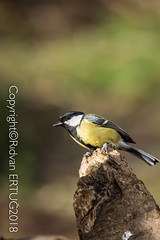 Great Tit  / Parus Major - Taken at Nene Country Park (I'll catch up with you later, your comments and cr) Tags: nikkor200500mmf56eafsed nikond610fx wildlifephotography birdphotography fallowdeer nature watcher ferrymeadowscountrypark rertug