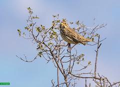 Triguero (Sanmi Fotografía) Tags: bird ave aus naturaleza nature naturephotography natura naturephotographer lleida wildlifephotography wildlife