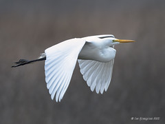 Great Egret Flys Low Over Marsh (pandatub) Tags: ebparks ebparksok bird birds egret greategret ch coyotehills