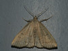 Herminia tarsicrinalis - Shaded fan-foot (Cossus) Tags: erebidae herminia herminiinae noctuidae пестово совка 2010