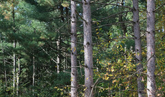 Pines In A Row (peterkelly) Tags: digital canon 6d ontarionature caledon ontario canada northamerica willoughbynaturereserve fall autumn pine plantation forest trees tree