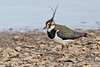 Lapwing (drbut) Tags: lapwing vanellusvanellus peewit plovers wetlands slimbridge avian bird birds nature wildlife canonef500f4lisusm