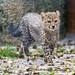 Next cheetah cub