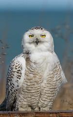 Snowy Owl. (Estrada77) Tags: birding snowyowl nikond500200500mm wildlife march2018 outdoors raptors distinguishedraptors birdsofprey illinois