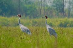 first ever Sarus Cranes (cirdantravels (Fons Buts)) Tags: grus antigone grusantigone kraanvogel saruskraanvogel saruscrane crane grue kranich saruskranich gruidae gruiformes dudhwa ngc coth coth5