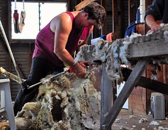 The Shearer (holly hop) Tags: shearer shearingshed sheep shed australia centralvictoria emu worker jackiehowe singlet hot wool woollyjumpers wooly